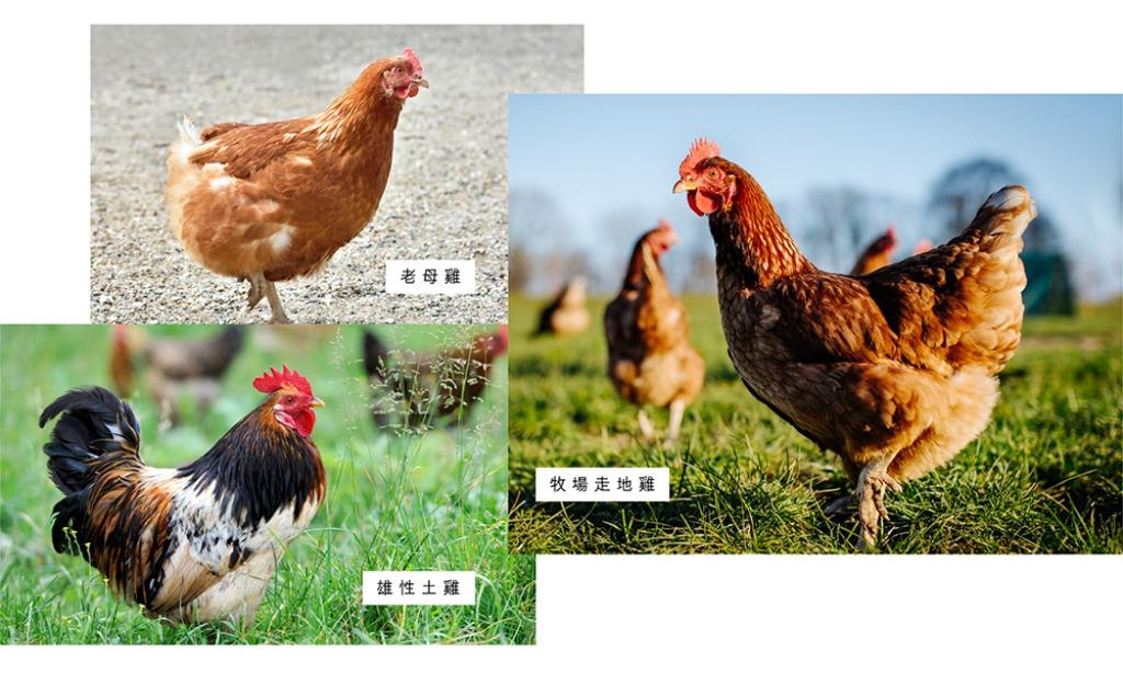 比較滴雞精邊隻好?挑選滴雞精功效要看雞種。